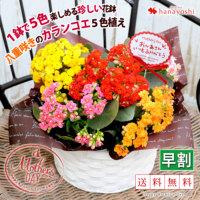 敬老の日限定 カランコエ5色植え