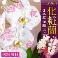ミディ化粧蘭